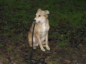 chien roumain landes