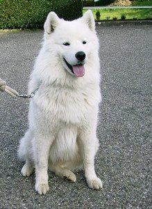 education samoyede