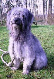 berger des pyrénées education chien dans les landes