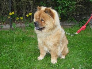 education chow chow