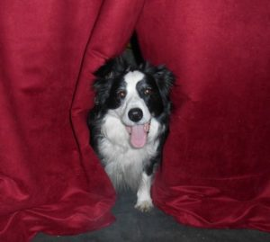 border collie education