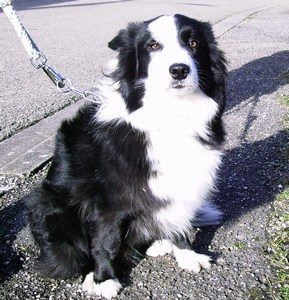 border collie dressage landes