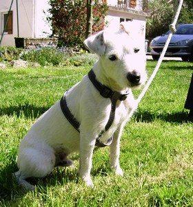 educquer un parson russel chien sourd