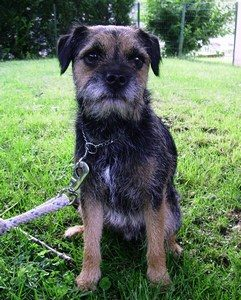 education border terrier